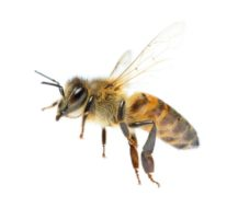 Schnelle Hilfe nach einem Bienen- oder Mückenstich